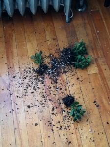 my broken jade plant